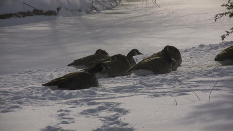 Winter scenic of geese resting in the snow (High Definition) Stock Video Footage