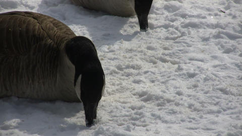 Geese are resting and nibbling on the snow (High Definition) Stock Video Footage