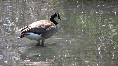 Canada goose is casually grooming itself in water (High... Stock Video Footage