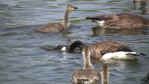 Somme Canada goose are swimming, ready to attack (High Definition) Footage