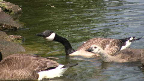 Somme Canada goose are swimming, ready to attack (High... Stock Video Footage