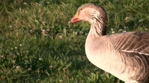 Goose is walking around the sunny grass, looking for food Stock Video Footage