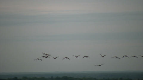 Community of Canada geese are flying in formation (High... Stock Video Footage