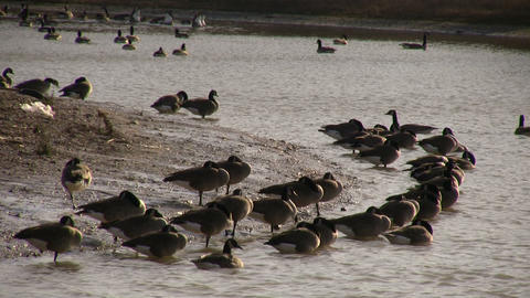 Geese - Sleeping on Shore 1 (High Definition) Stock Video Footage