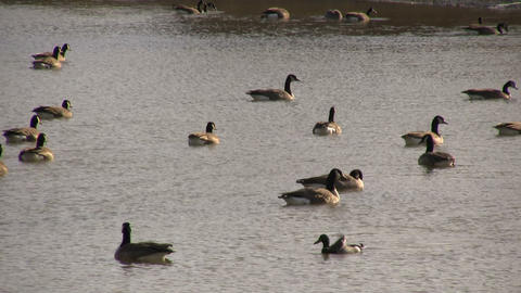 Geese - Swimming 3A (High Definition) Stock Video Footage