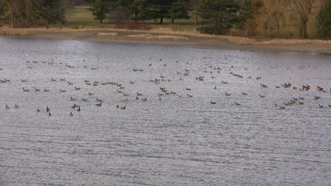 Geese - Swimming 5 (High Definition) Stock Video Footage