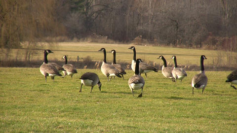 Geese Walking on Grass 2 (High Definition) Stock Video Footage