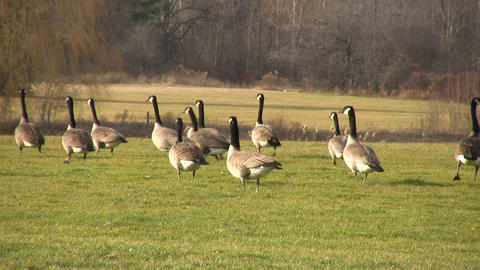 Geese Walking on Grass 2 (High Definition) Live Action