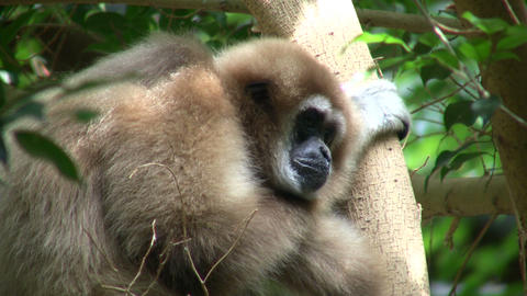 White-Handed Gibbon casually sits in a tree Stock Video Footage