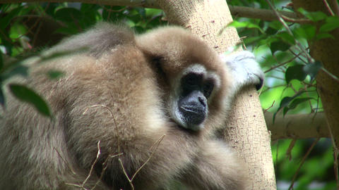White-Handed Gibbon casually sits in a tree Footage