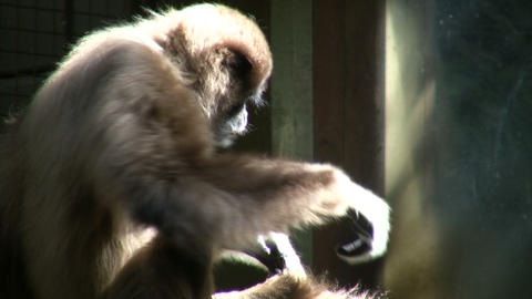Close-up of White-Handed Gibbon sitting in the sunshine Footage