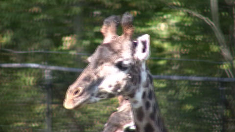 Close-up of Masai Giraffes as they casually walks around Stock Video Footage