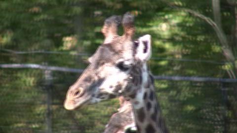Close-up of Masai Giraffes as they casually walks around Stock Video Footage