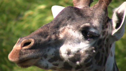 Close-up of a Masai Giraffe's head Stock Video Footage
