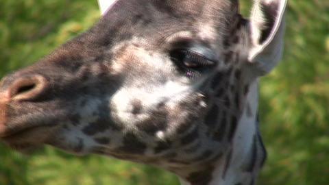 Close-up of a Masai Giraffe's head Stock Video Footage
