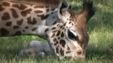 Close-up of a Masai Giraffe eating grass Stock Video Footage