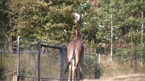 Masai Giraffes casually walks around Live Action