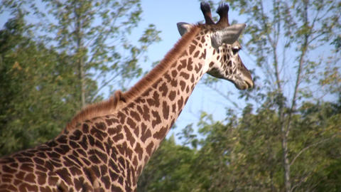 Close-up of a Masai Giraffe casually walking around Stock Video Footage