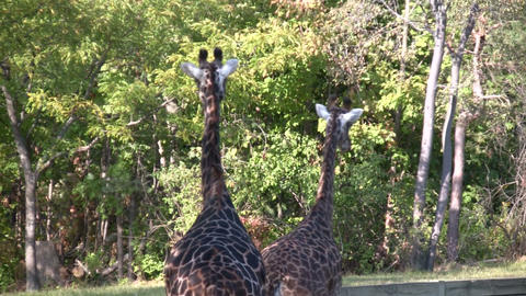 Close-up of Masai Giraffes casually walking around Stock Video Footage