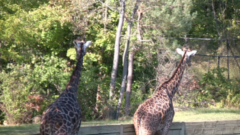 Close-up of Masai Giraffes casually walking around Live Action