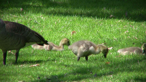 Family of geese goslings are eating in field (High Definition) Footage