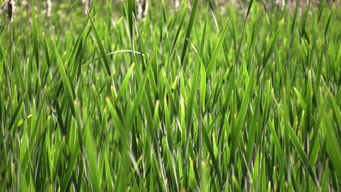 Tall blades of grass gently sway in wind (High Definition) Stock Video Footage