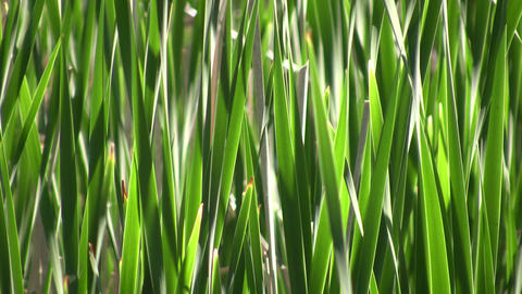 Tall blades of grass gently sway in wind (High Definition) Footage