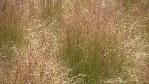 Dry grass is gently swaying in the wind Footage