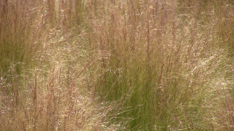 Dry grass is gently swaying in the wind Stock Video Footage