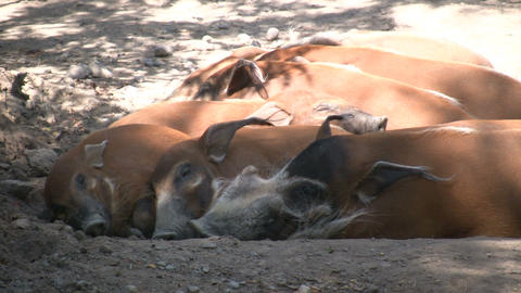 Family of Red River Hogs are sleeping in the sunlight Footage