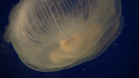 Closeup of Adult Moon Jelly jellyfish moving through water Stock Video Footage