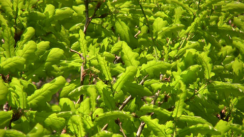 Closeup of green leaves illuminated by the sunlight (High Definition) Footage