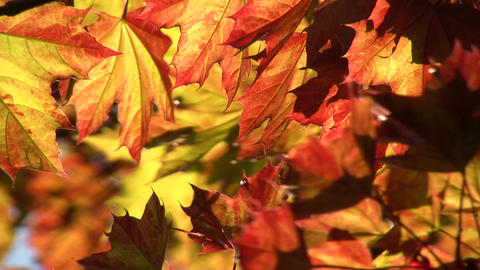 Maple leaves are illuminated by the sunlight (High Definition) Footage