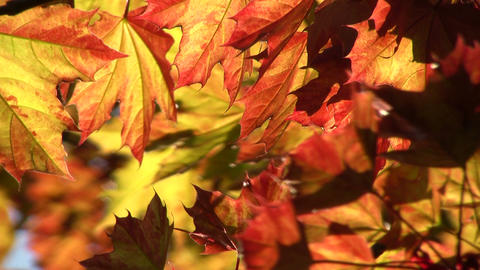 Maple leaves are illuminated by the sunlight (High... Stock Video Footage