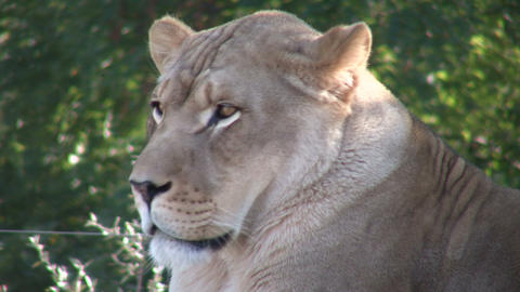 Closeup of an African Lion, relaxing in a field Footage
