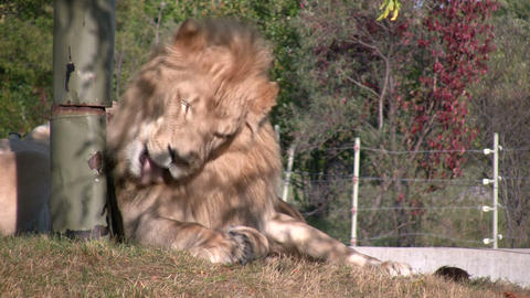 African Lion is relaxing in a field Stock Video Footage