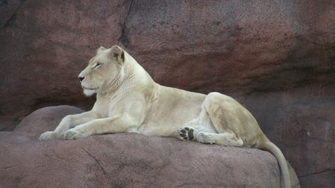 African Lion is relaxing on some rocks Live Action