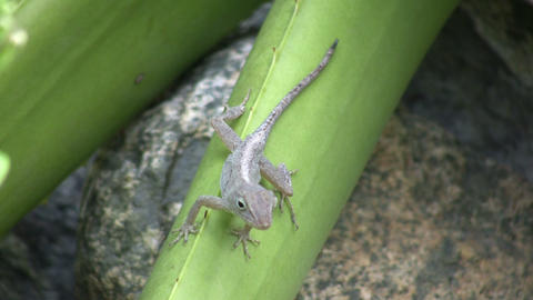 Lizard 01 (High Definition) stock footage