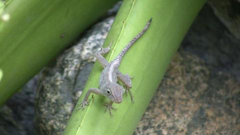 Lizard 01 (High Definition) Stock Video Footage