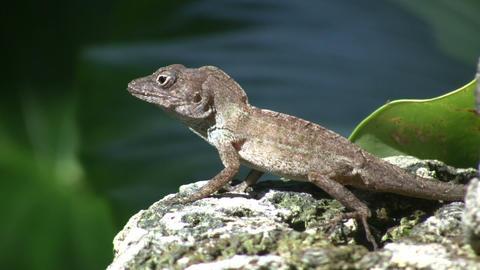 Lizard 04 (High Definition) Stock Video Footage