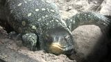 Ornate Nile Monitor Is Relaxing On Some Rocks stock footage
