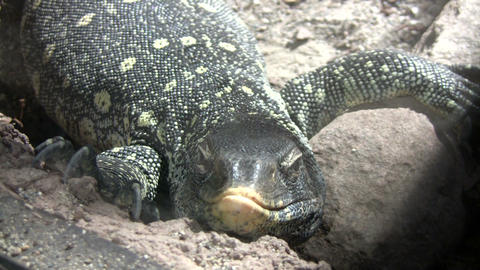 Ornate Nile Monitor is relaxing on some rocks Stock Video Footage