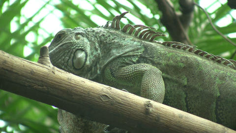 Iguana is lazily resting on a log (High Definition) Footage