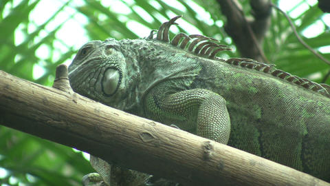 Iguana is lazily resting on a log (High Definition) Stock Video Footage