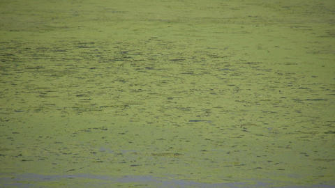Green scum floating in the marsh drifts by (High Definition) Footage