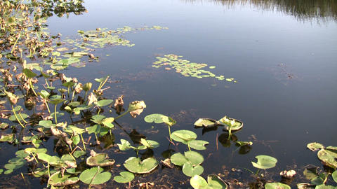 Lily pads are floating in this wetland scenic (High... Stock Video Footage