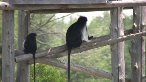 Angolan Colobus monkeys keep cool in the shade (High Definition) Footage