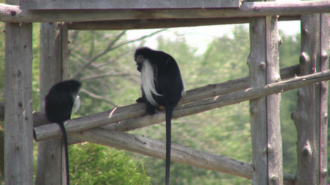 Angolan Colobus monkeys keep cool in the shade (High... Stock Video Footage