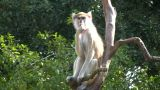 Patas Monkey Is Resting On Branches Amidst A Sunny Day stock footage