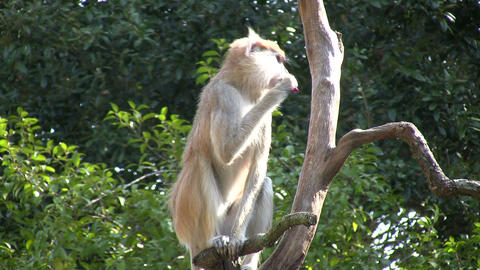 Patas Monkey is resting on branches amidst a sunny day Stock Video Footage